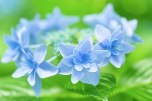 あじさいの花 アップの写真素材 [FYI04674633]