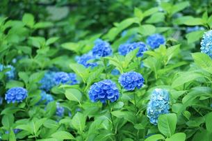 紫陽花の花々の写真素材 [FYI04674639]