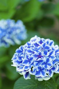 あじさいの花の写真素材 [FYI04674643]