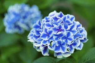 あじさいの花の写真素材 [FYI04674644]