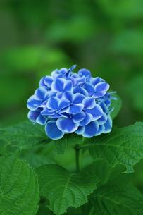 あじさいの花の写真素材 [FYI04674645]