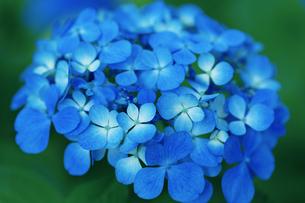 あじさいの花の写真素材 [FYI04674658]