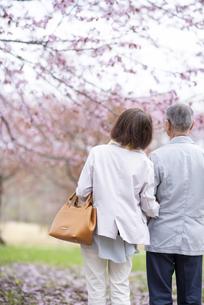 桜を見つめるシニアカップルの後ろ姿の写真素材 [FYI04675070]