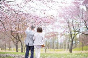 桜を見つめるシニアカップルの後ろ姿の写真素材 [FYI04675071]