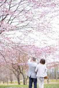 桜を見つめるシニアカップルの後ろ姿の写真素材 [FYI04675072]