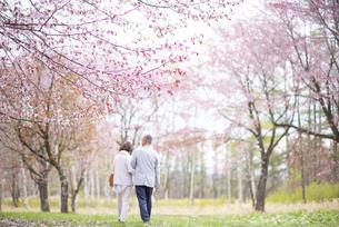 桜の中を歩くシニアカップルの後ろ姿の写真素材 [FYI04675088]