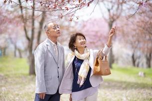 桜を見上げるシニアカップルの写真素材 [FYI04675106]