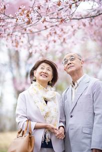 桜を見上げるシニアカップルの写真素材 [FYI04675115]