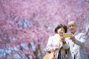 桜の前で自撮りをするシニアカップルの写真素材 [FYI04675176]