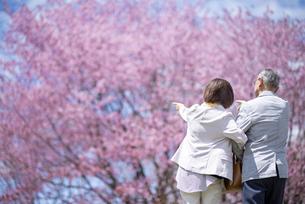 桜を見つめるシニアカップルの後ろ姿の写真素材 [FYI04675180]