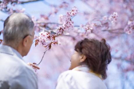 桜を見つめるシニアカップルの後ろ姿の写真素材 [FYI04675181]
