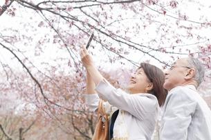 スマホで桜の写真を撮る女性の写真素材 [FYI04675200]