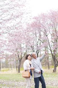桜を見上げるシニアカップルの写真素材 [FYI04675205]