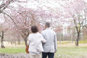 桜の中を歩くシニアカップルの後ろ姿の写真素材 [FYI04675208]
