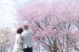 桜の前で腕を組むシニアカップルの後ろ姿の写真素材 [FYI04675226]