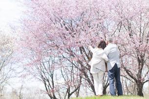 桜の前で指を差すシニアカップルの後ろ姿の写真素材 [FYI04675227]