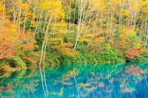 志賀高原大沼池と紅葉した樹々の写真素材 [FYI04675367]