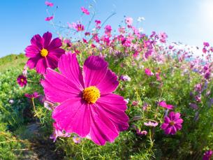 【秋】ピンク色のコスモスの花が青空の下で咲いている様子 自然風景の写真素材 [FYI04675368]