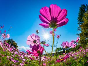 【秋】ピンク色のコスモスの花が青空の下で咲いている様子 自然風景の写真素材 [FYI04675370]