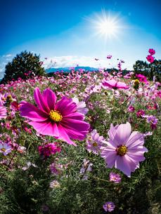 【秋】ピンク色のコスモスの花が青空の下で咲いている様子 自然風景の写真素材 [FYI04675372]