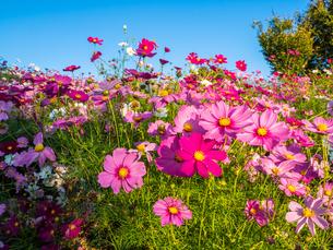 【秋】コスモスの花が花畑で咲いている様子 香川県 まんのう公園の写真素材 [FYI04675374]