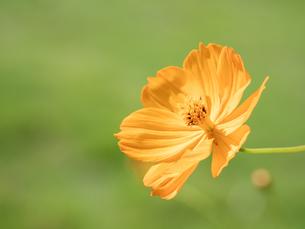 【秋】オレンジ色のコスモスの花が花畑で咲いている様子 自然風景の写真素材 [FYI04675377]