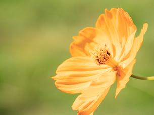 【秋】オレンジ色のコスモスの花が花畑で咲いている様子 背景素材の写真素材 [FYI04675383]