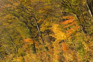 山中湖の紅葉の写真素材 [FYI04675441]