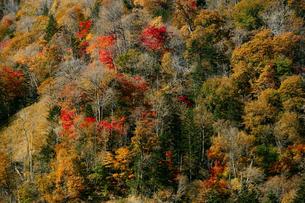 山の斜面の紅葉の写真素材 [FYI04675555]