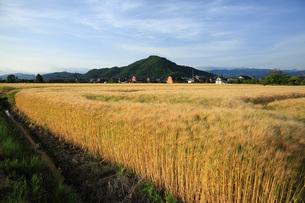 麦畑と山本山の写真素材 [FYI04675798]