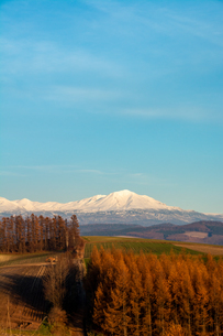 紅葉のカラマツ林と雪山と青空の写真素材 [FYI04675829]