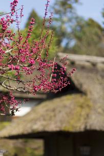 梅の花と茅葺き屋根の写真素材 [FYI04675954]