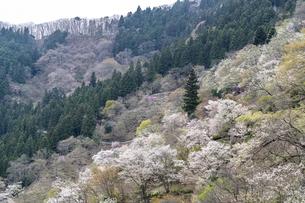 奥多摩湖の桜の写真素材 [FYI04676403]