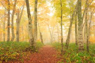 秋の霧のブナ林と歩道の写真素材 [FYI04676426]