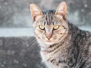 【動物】キジトラの猫がみつめる様子 野良猫の写真素材 [FYI04676500]
