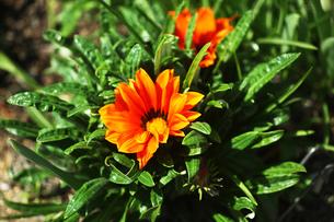 ガザニアの花咲くの写真素材 [FYI04676648]