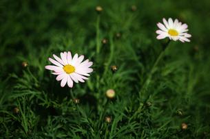 マーガレットの花咲くの写真素材 [FYI04676649]