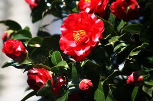 椿・赤色に斑入りの花の写真素材 [FYI04676651]
