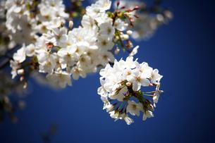桜・大島桜の花の写真素材 [FYI04676652]