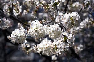 桜・大島桜の花の写真素材 [FYI04676653]