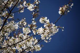 桜・大島桜の花の写真素材 [FYI04676654]
