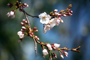 桜・染井吉野の開花の写真素材 [FYI04676656]