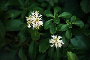 フッキソウの花の写真素材 [FYI04676659]