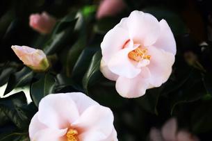 椿・八重咲きの花の写真素材 [FYI04676665]