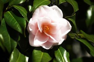 椿・八重咲きの花の写真素材 [FYI04676666]