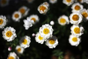 咲き揃った花かんざしの写真素材 [FYI04676667]