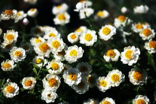 咲き揃った花かんざしの写真素材 [FYI04676668]