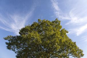 大木と青空の写真素材 [FYI04676809]