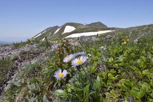 ミヤマアズマギク(北海道・大雪山)の写真素材 [FYI04676845]
