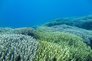 西表島 イダの浜のユビエダハマサンゴの写真素材 [FYI04676884]